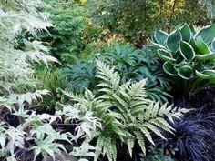 Shade garden design with ferns, hostas and black mondo grass.