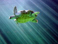 Sea turtles :) ...this turtle must live in an aquarium.. they arn't so fat in the wild!