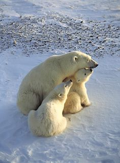 Polar bear cubs nuzzle their resting mother in Hudson Bay, Churchill, Manitoba, Canada. Animals And Pets, Baby Animals, Cute Animals, Baby Giraffes, Wild Animals, Beautiful Creatures, Animals Beautiful, Baby Polar Bears, Photo Animaliere