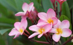 frangipani aka plumeria - flower wallpaper