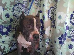 HELP!!! HELP!!!!! This poor boy does not even have a name ▀▀ EXTREMELY URGENT▀▀  DEFEATED SO SAD BOY #A278526 ▀▀NEEDS YOU!▀▀ #ORLANDO, FL :(( BREAKING MY HEART :((  4 year old gray and white male Pit Bull. 59 pounds. Orange County Animal Services 2769 conroy rd, orlando #FLORIDA. CALL 407-254-9140 OR 407-254-9157 #Email: Jaqueline.nanni@ocfl.net Debra.villella@ocfl.net Linda.Hepenstal@ocfl.net (include id# with email) $55 #adoption cost