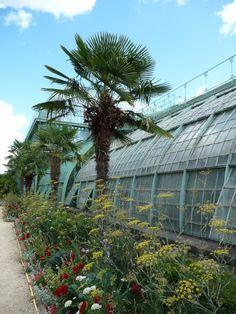 Alignement de palmiers (Trachycarpus fortunei) le long des serres, Jardin des Serres d'Auteuil, Paris 16e (75), 26 août 2012, photo Alain Delavie  http://www.pariscotejardin.fr/2012/09/le-jardin-des-serres-dauteuil-en-ete/#