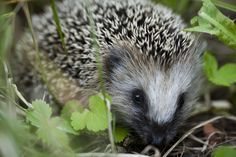 The first hedgehog was domesticated in 4 B.C.
