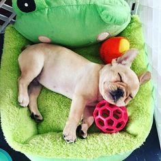A quick nap in my comfy FROG chair! Animals And Pets, Baby Animals, Cute Animals, Cute French Bulldog, French Bulldogs, I Love Dogs, Cute Dogs, Doggies, Dogs And Puppies