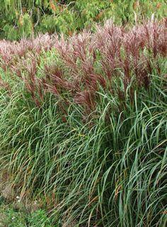 Miscanthus sinensis 'Rotsilber' - Red Silver Maiden Grass