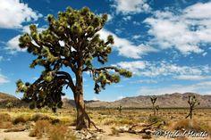 Willkommen im Wonderland of Rocks. Lest mehr über den wunderschönen Nationalpark mit seinen Wüsten im Süden Kaliforniens:  http://www.erkunde-die-welt.de/…/joshua-tree-nationalpark-…/  #joshuatreenationalpark #joshuatree #kalifornien #usa #wüste #klettern #felsformationen #wonderlandofrocks #skullrock #keysview #chollacactusgarden #hiddenvalley #barkerdam #jumborocks #indiancove #camping #29palms