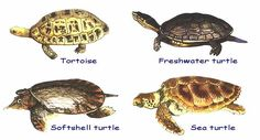 Did you know- Turtle Site - Funny cause my husband keeps saying he wants a pet turtle to name Speedy!