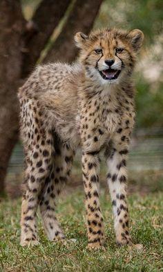 El guepardo (Acinonyx jubatus) Cuando cae la noche, la madre, quien es la que se ocupa de los cachorros en todo momento, los traslada a sitios más seguros fuera de depredadores como leones, leopardos o hienas. Los pequeños pueden seguir a la madre hasta las cuatro semanas de edad.