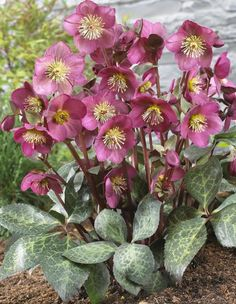 "Helleborus 'Anna's Red' PPAF (Anna's Red Hellebore)  Zone: 5a to 8b,at least Height: 15"" tall Culture: Part Sun to Light Shade"