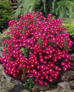 Heleyttä syyspuutarhaan. Michaelmas Daisy, Aster Flower, Garden, Bulb Flowers, Perennials, Tomato, Daisy