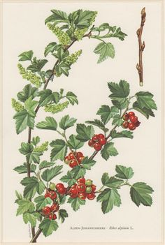 1960 Vintage Botanical Print Alpine Currant Ribes by Craftissimo