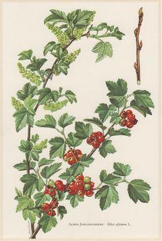 1960 Vintage Botanical Print Alpine Currant Ribes by Craftissimo