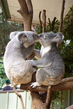 Image viaI was told that I am like a Koala bear. cute and vicious. Cute Funny Animals, Cute Baby Animals, Animals And Pets, Wild Animals, Amazing Animals, Animals Beautiful, Animal Original, Animals Kissing, The Wombats