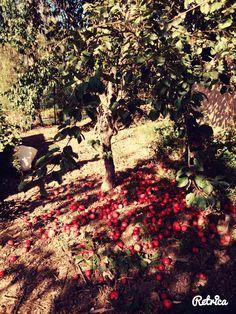 #Autum#InCzechRep.#picking#apples