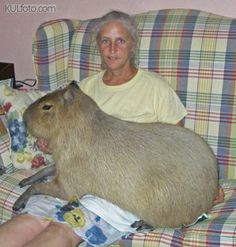 "Why is this one on my ""Laughter"" board, you ask?   Well because Capybaras just crack me up with their huge size.  I had never even seen one (in print or otherwise!) until a couple of years ago and when I saw this exact photo, I thought surely it was a disproportionate photoshopped gerbil on a woman's lap.  When I checked into the story and learned about Capybaras, I found myself laughing so hard!  They still make me smile!!"