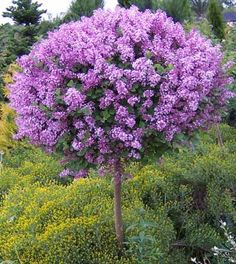 Dwarf Korean Lilac - Plant Type:  Shrub Description: A beautiful and popular patio shrub with numerous attributes; striking spikes of fragrant lilac-pink flowers in late spring, small rounded foliage and a uniform compact ball shape grafted onto a standard, best used as a solitary accent in the garden  Ornamental Features: Dwarf Korean Lilac (tree form) is smothered in stunning panicles of fragrant lilac purple flowers at the ends of the branches in late spring.