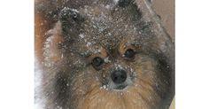 #pomeranian Ali is having fun in the snow!