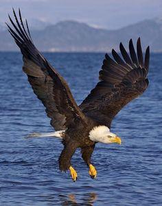 Bald Eagle...... My absolute favorite creature...........period!