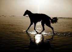 Borzoi is walking in the water. #borzoi #dogs #Russian