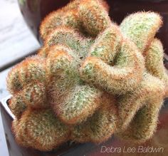 12 Reasons to Love Cactus from succulent author Debra Lee Baldwin Cacti And Succulents, Cactus Plants, Kinds Of Cactus, Water Lilies, Container Gardening, Indoor Plants, Garden Design, Exotic, Spring