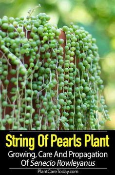Container Gardening String Of Pearls Plant: Growing, Care and Propagation of Senecio Plant - String of Pearls plant (Senecio rowleyanus) unusual cascading succulent with round, bead-like leaves, drought tolerant perfect in hanging baskets. Succulent Care, Succulent Gardening, Succulents Garden, Container Gardening, Succulent Fertilizer, Plant Propagation, Succulent Plants, Garden Plants, Types Of Succulents