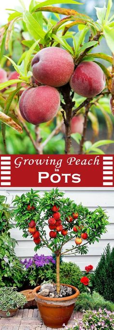 Tips How to Grow Peaches and Nectarines in a Pot