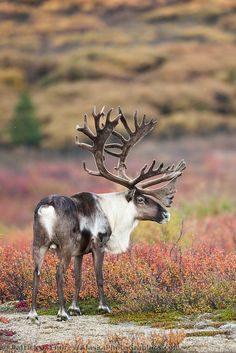 Bull caribou in velvet antlers stands in the colorful autumn tundra in Denali National Park. 4 Wheeler Accessories, Caribou Hunting, Coyote Hunting, Alaska Salmon Fishing, Dog Hacks, Antlers, Pet Birds, Animal Kingdom, Animals Beautiful