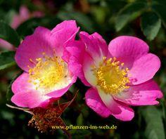 "Rose ""Fenja"" : Rosa pimpinellifolia Hybr. R. davidii x R. pimpinellifolia"