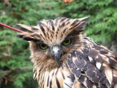 The Blakiston fish owl (Bubo Blakistoni) is the world's largest — and one of the rarest — owl species, with an impressive 6 foot (2 meter) wingspan. The giant owl, found exclusively in northeast Asia, shares its habitat with a menagerie of endangered and impressive animals, including Amur tigers, Amur leopards, Asiatic black bears and wild boars. Now, a recent study in Oryx, led by the Wildlife Conservation Society (WCS) has discovered that these owls rely on threatened old trees for nesting…