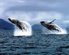 Alaskan Humpback whales near Kodiak Island Orcas, Kodiak Alaska, Alaska Usa, Kodiak Island, Save The Whales, Alaska Fishing, Delphine, Ocean Creatures, Humpback Whale