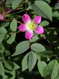 Punalehtiruusu, Rosa glauca - Puut ja pensaat - LuontoPortti