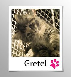 AVAILABLE FOR ADOPTION - GRETEL! (Female tabby kitten)  This litter of five (Bijou, Gretel, Hansel, Joujou, and Pritti) are vaccinated and ready for adoption. They have beautiful faces, are healthy, and have adorable personalities. Please email catwhisperer@sympatico.ca if you would like to find out about our next adoption day or meet one of these kittens in its foster home.   www.facebook.com/cause4paws