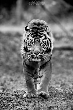If the stare could kill… Tiger and Large Cats Most Beautiful Animals, Beautiful Cats, Beautiful Creatures, Tiger Love, Cat Love, Ocelot, Lynx, Jaguar, Animals Of The World