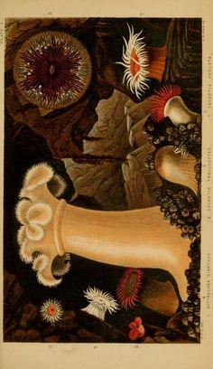 Actinologia Britannica: A history of the British sea-anemones and corals, Philip Henry Gosse, 1860.