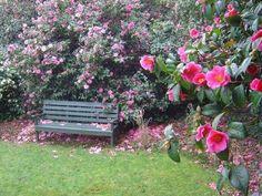 Trewithen Gardens Cornwall - Camellias