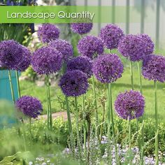 Allium Purple Sensation. There's no better allium for bridging the season between spring bulbs and early summer perennials. Perfectly round, 4 to 5 (100/bag $33.00)