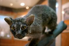 A Iriomote cat. Leopard relative that is critically endangered. Very small habitat and genetic diluting has left less than 100 of these wild cats. This is specimen has been preserved with taxidermy. Small Wild Cats, Big Cats, Cats And Kittens, Cats Meowing, Living Fossil, Exotic Cats, Leopard Cat, Wildlife Conservation, Domestic Cat