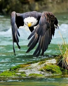 The Bald Eagle is a bird of prey, and it feeds primarely on fish. It's found in North America and it's The US' national bird.