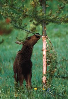Tree bark not only is beautiful, it is quite nutritious, and many animals find it irresistible (not so great for the tree, but it makes this baby moose happy. From MOTHER EARTH NEWS magazine.