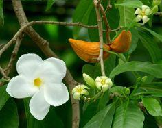 Rare Lechoso White Milky Way Tree Stemmadenia litoralis - 25 Seeds