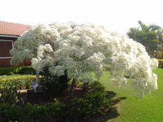 Portal Multiflora: Euphorbia leucocephala
