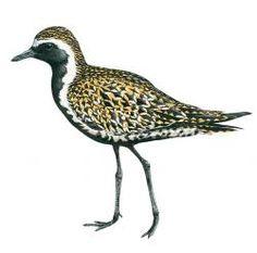 Pacific Golden Plover (Vagrant Easter Island) Golden Plover, List Of Birds, Easter Island, Art, Art Background, Kunst, Performing Arts, Art Education Resources, Artworks