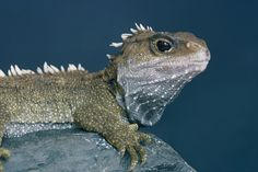 New Zealand's endemic tuatara is a very unusual animal. They are the only living representative of a group of reptiles known as Rhynchocephalia that first evolved over 200 million years ago. Reptiles And Amphibians, Mammals, Blue Eyeshadow Looks, Unusual Animals, Wild Creatures, Tortoises, Animal Photography, Travel Photography, Conservation