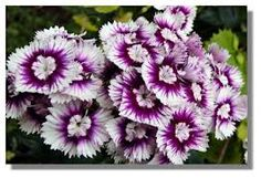 170 best sweet williams images on pinterest sweet william flowers sweet william purple white wholesale flowers for weddings and events wholesale florist floral floral supply flower distributor mightylinksfo