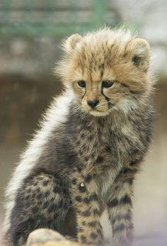 baby cheetah   Flickr - Photo Sharing!