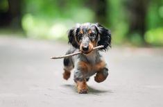 .dachshund♡. #daschundpuppies