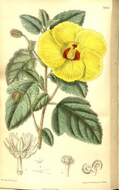 Hibiscus scotti. Curtis's botanical magazine v.128 [ser.3:v.58] (1902)  London ;New York [etc.] :Academic Press [etc.]  Biodiversitylibrary. Biodivlibrary. BHL. Biodiversity Heritage Library