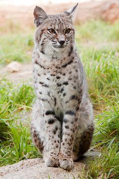 Serval, an African Wild Cat Cat Bobcat, Serval Cats, Siamese Cats, Kittens, Big Cats, Cool Cats, Beautiful Creatures, Animals Beautiful, African Wild Cat