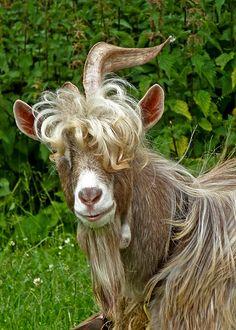 Stylish goat at Southowram