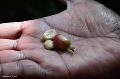 Coffee beans in Spice Plantation, Munnar, Kerala, India